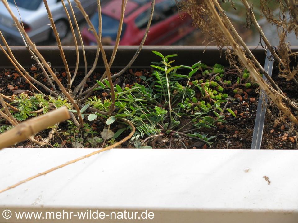 Wilde Möhre, Esparsette und Milder Mauerpfeffer im Balkonkasten.