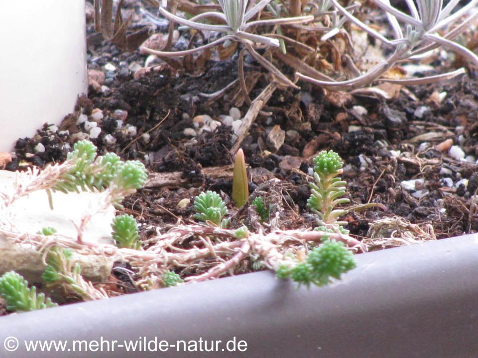 sprießender Frühjahrsblüher auf dem Balkon