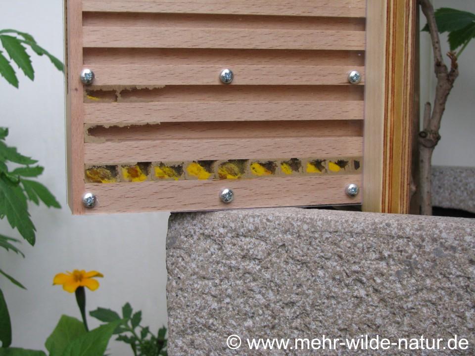 9 Brutzellen einer Mauerbiene