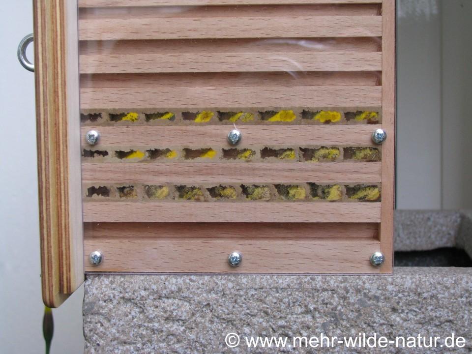 In 3 Nistgängen wurden Brutzellen von Mauerbienen angelegt.
