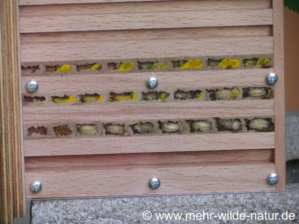 Einblick in eine Beobachtungsnisthilfe für Wildbienen.