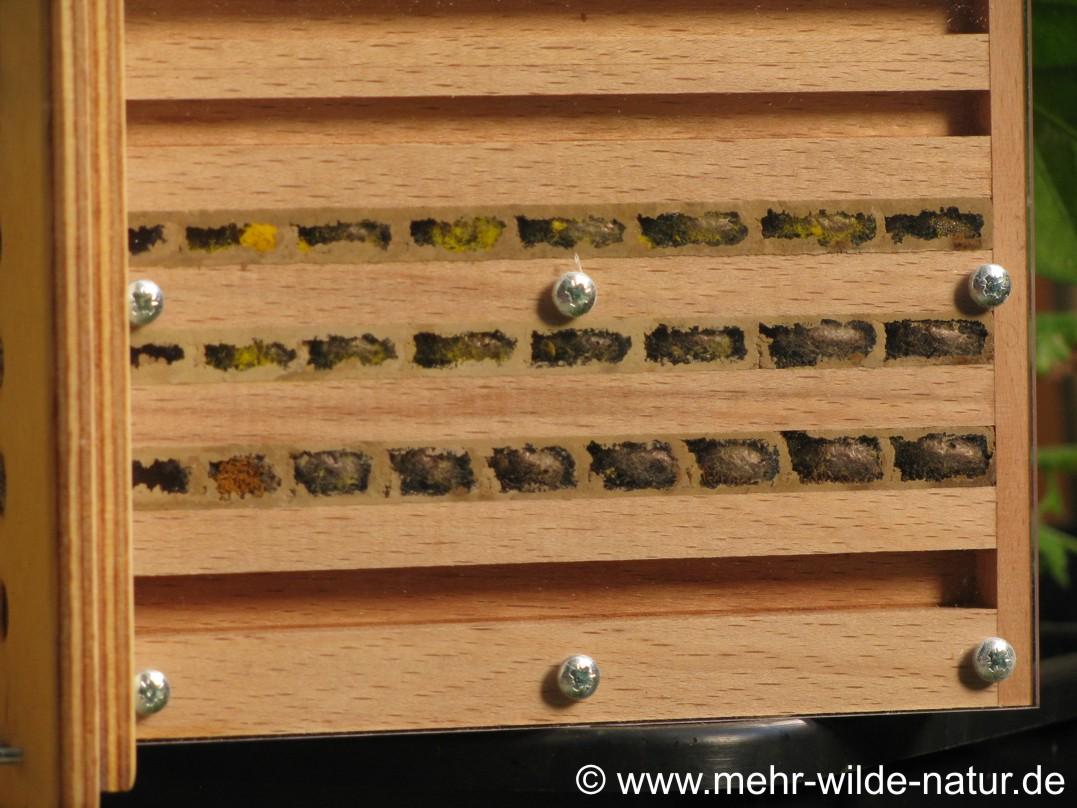 Einblick in die Brutzellen der Mauerbienen