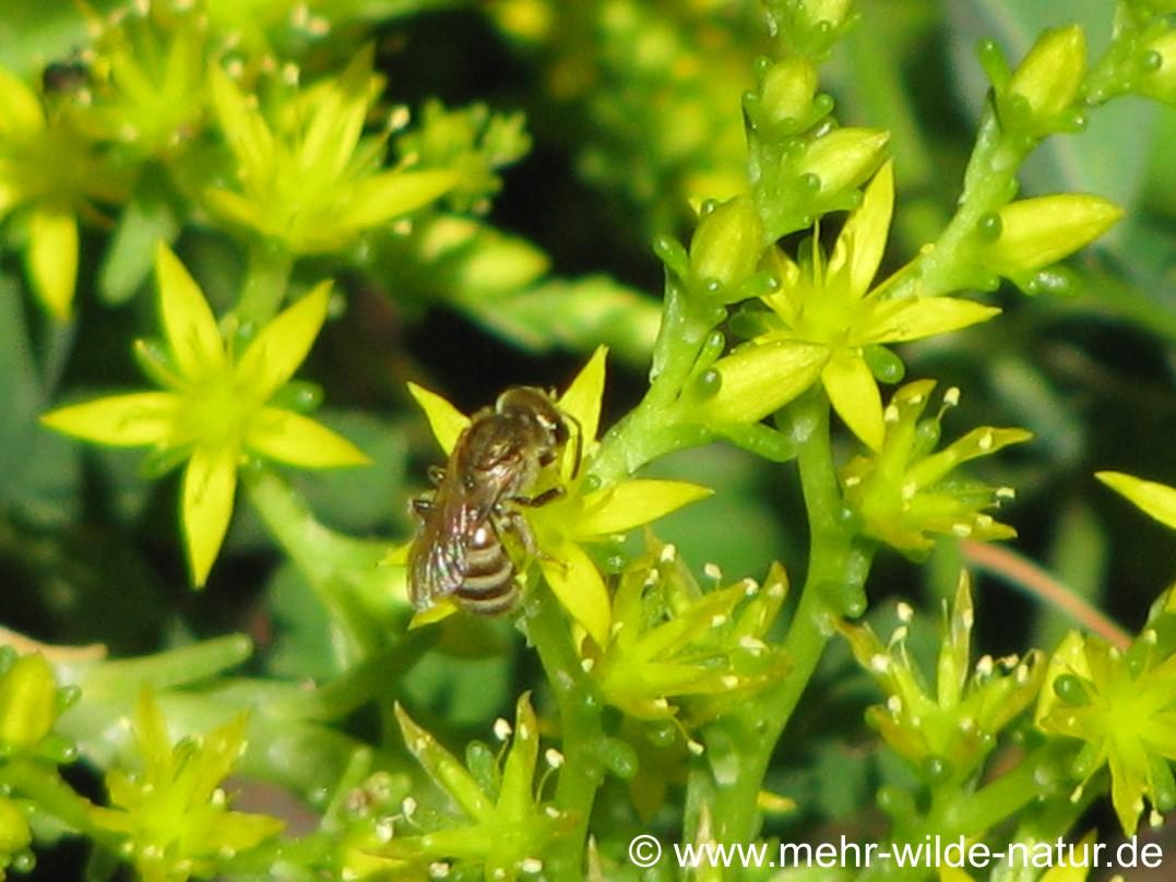 Wildbiene an den Blüten des Milden Mauerpfeffers