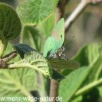 Ein Grüner Zipfelfalter - Schmetterling des Jahres 2020 - am Hang oberhalb Lobeda in Jena