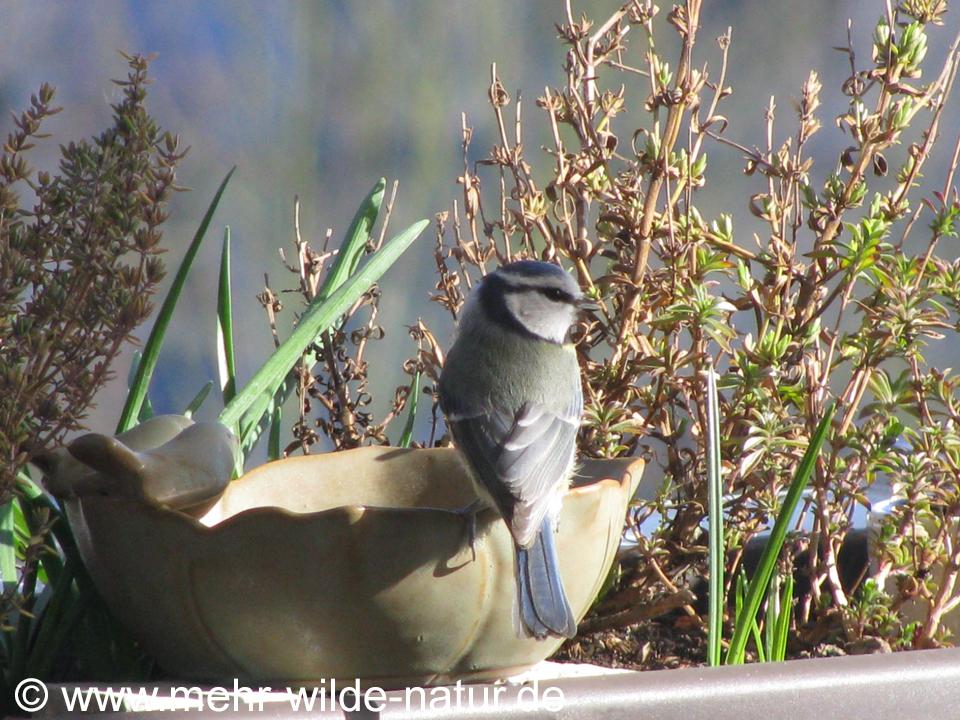 Blaumeise an der Vogeltränke auf meinem Balkon