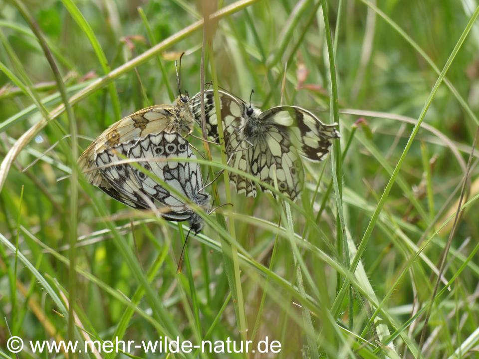 Paarung Schachbrettfalter an der Saale-Horizontale Höhe Jena-Zwätzen
