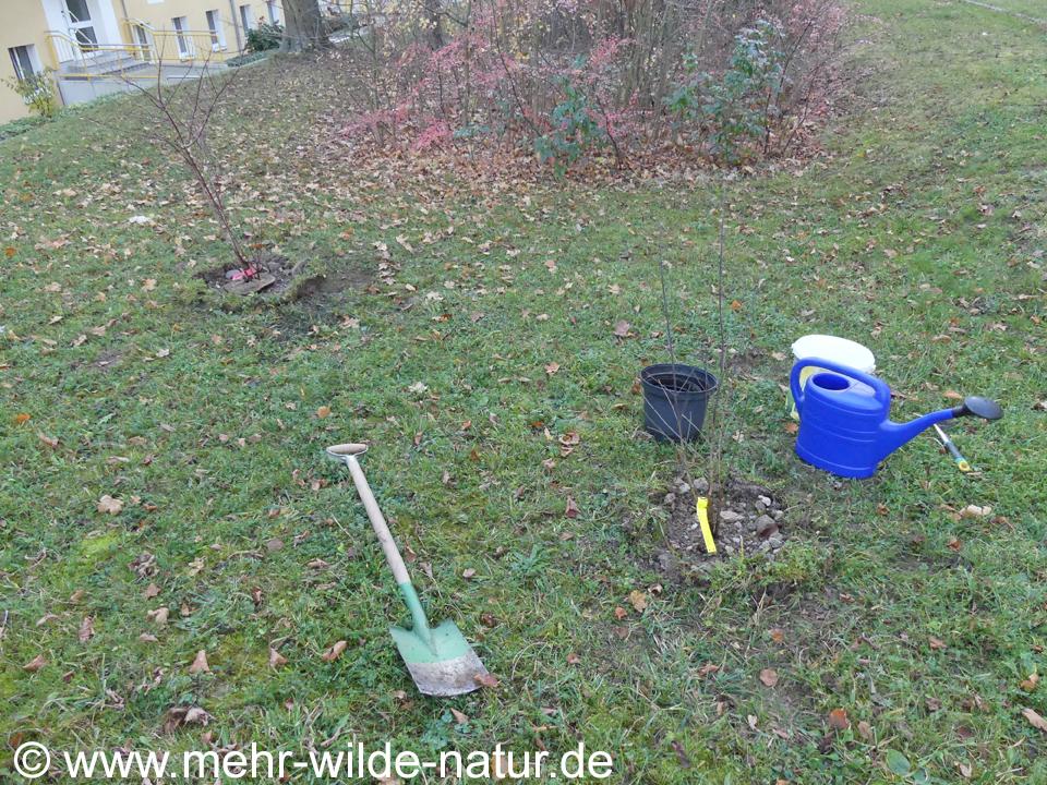 neu gepflanzte Wildsträucher vor unserem Block