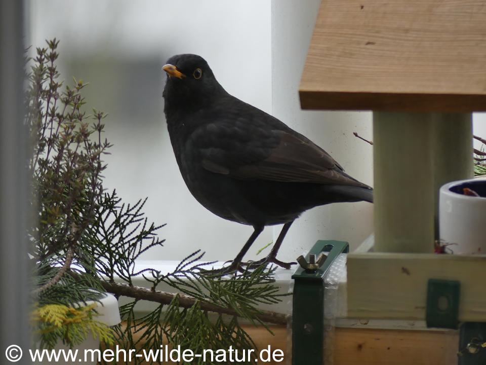 Amsel auf meinem Balkon in Jena-Nord