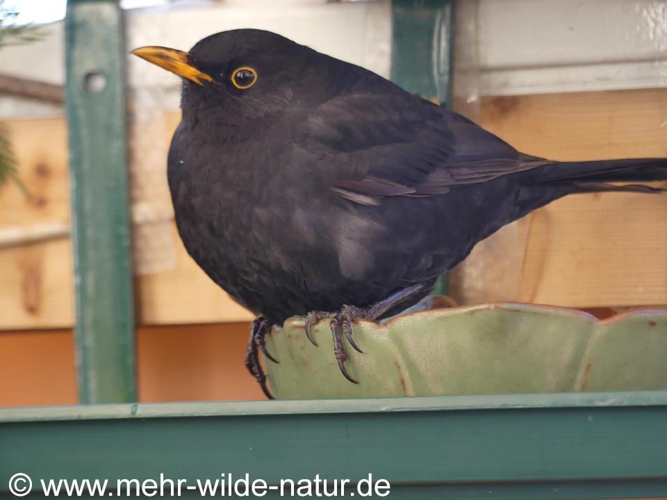 Amsel auf Vogeltränke auf meinem Balkon