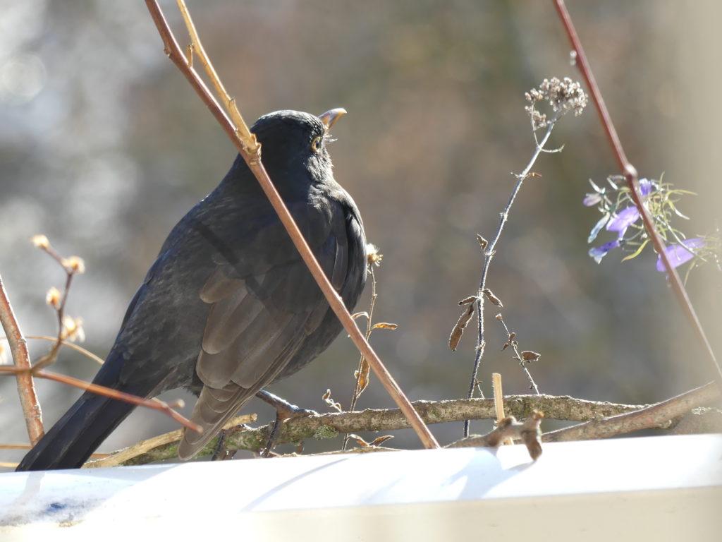 Amsel genießt die Wintersonne auf meinem Balkon