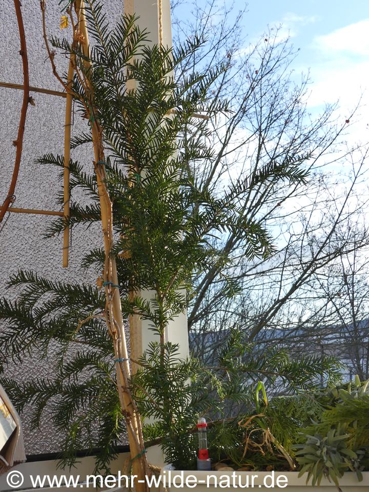 Eibe als natürliche grüne Winterdeko auf dem Balkon
