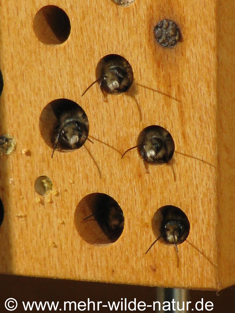 Mauerbienen bei Sonnenaufgang in der Wildbienennisthilfe auf dem Balkon