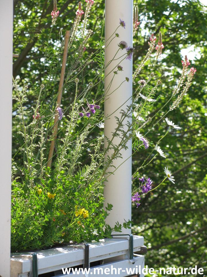 In den beiden Wildblumenkästen blühen gerade Gewöhnlicher Hornklee, Ackerrittersporn, Taubenskabiose, Wiesenmargerite und Esparsette.