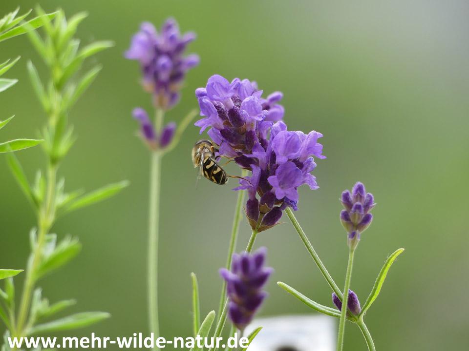 Eine Schwebfliege besucht die Lavendelblüten.
