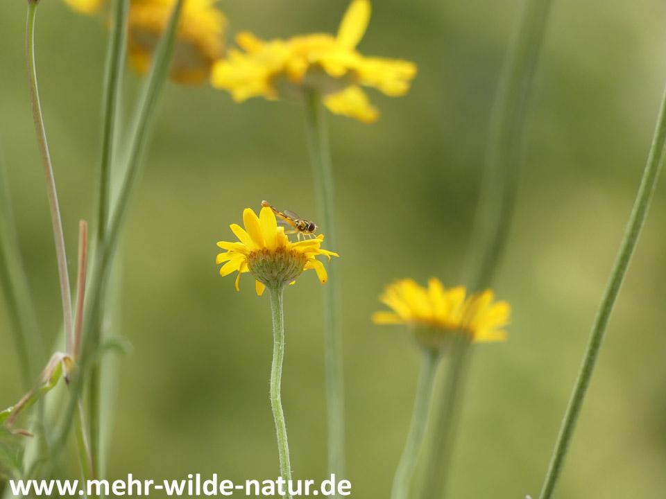 Eine Schwebfliege auf einer Blüte der Färberkamille