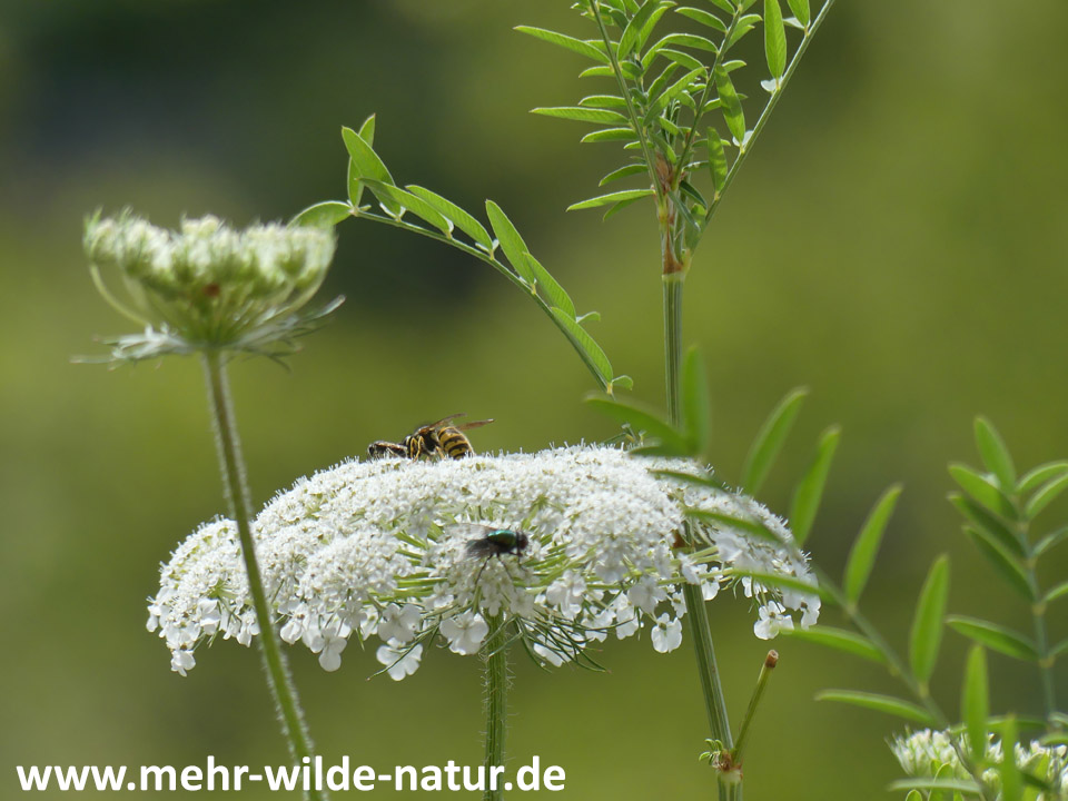 Wildbiene, Wespe und Fliege besuchen die Blüte der Wilden Möhre