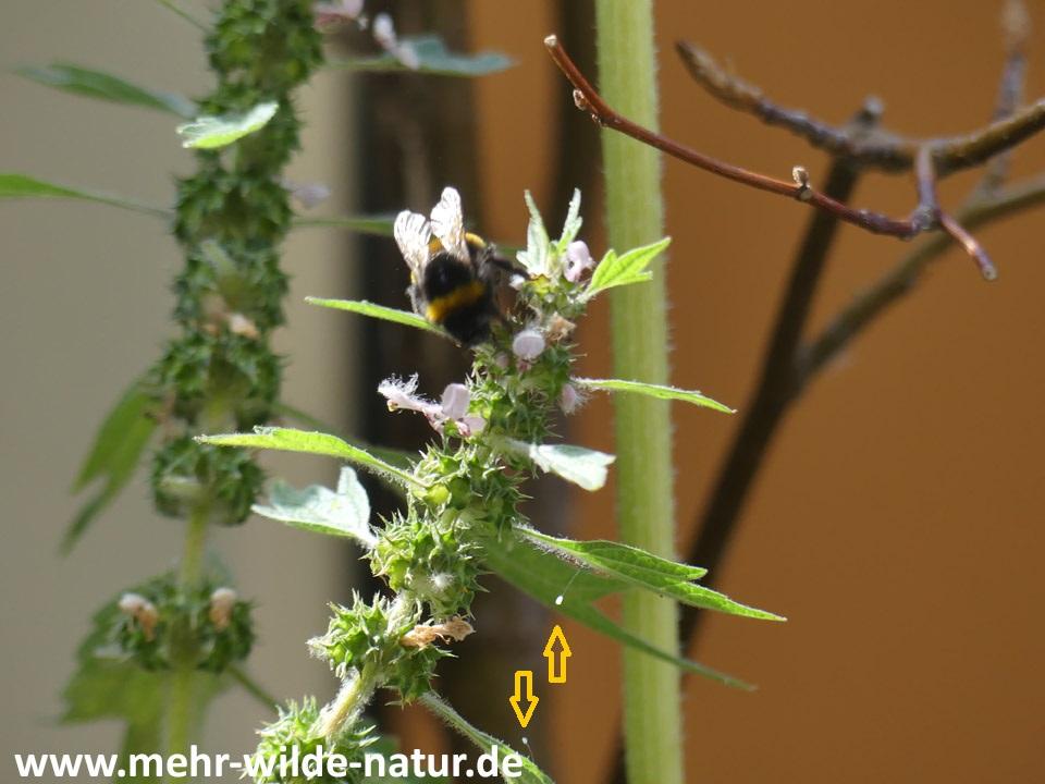 Hummel am Herzgespann und zwei Florfliegeneier