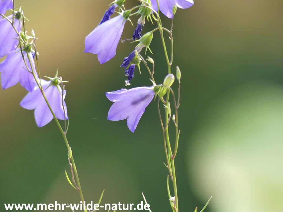 Rundblättrige Glockenblume mit Wildbiene in einer Blüte