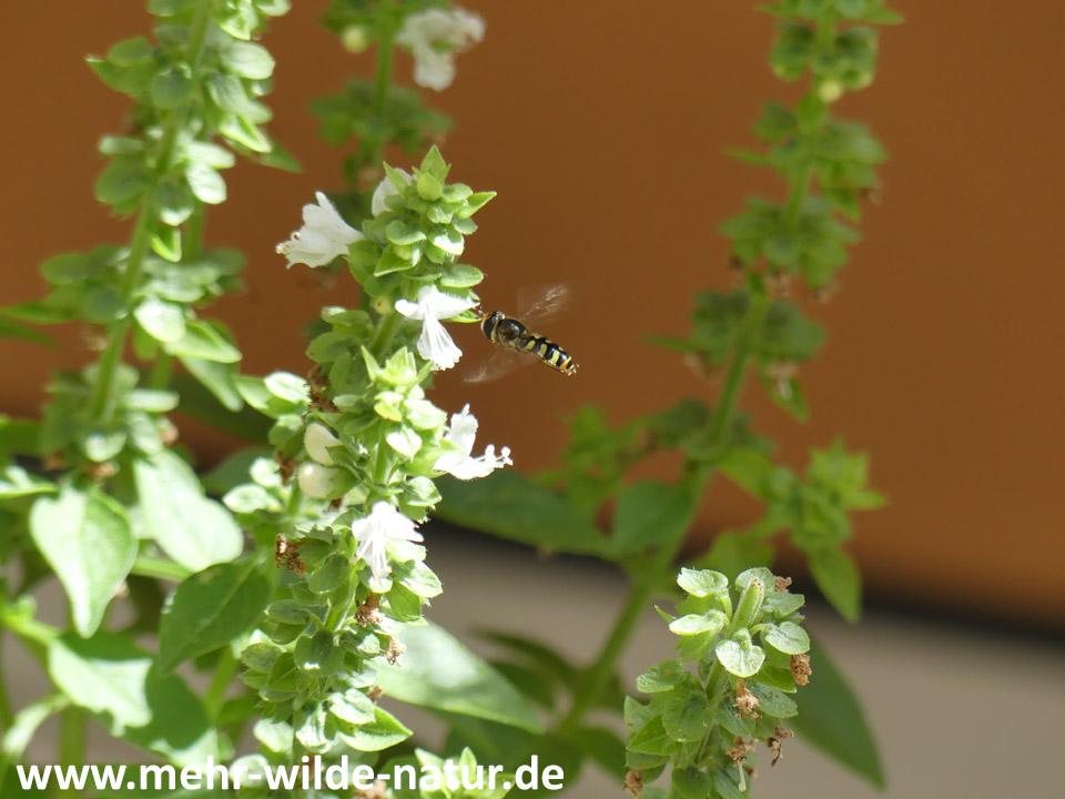 Schwebfliege fliegt Blüte des Buschbasilikums an