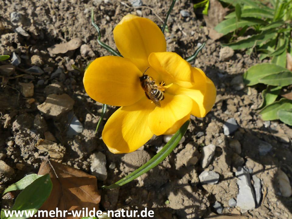 Wildbiene an Goldkrokus auf dem Hausbeet.