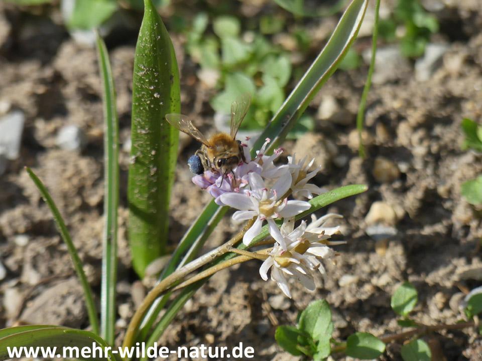 Eine Wildbiene an Blüten des rosa Zweiblättrigen Blausterns.