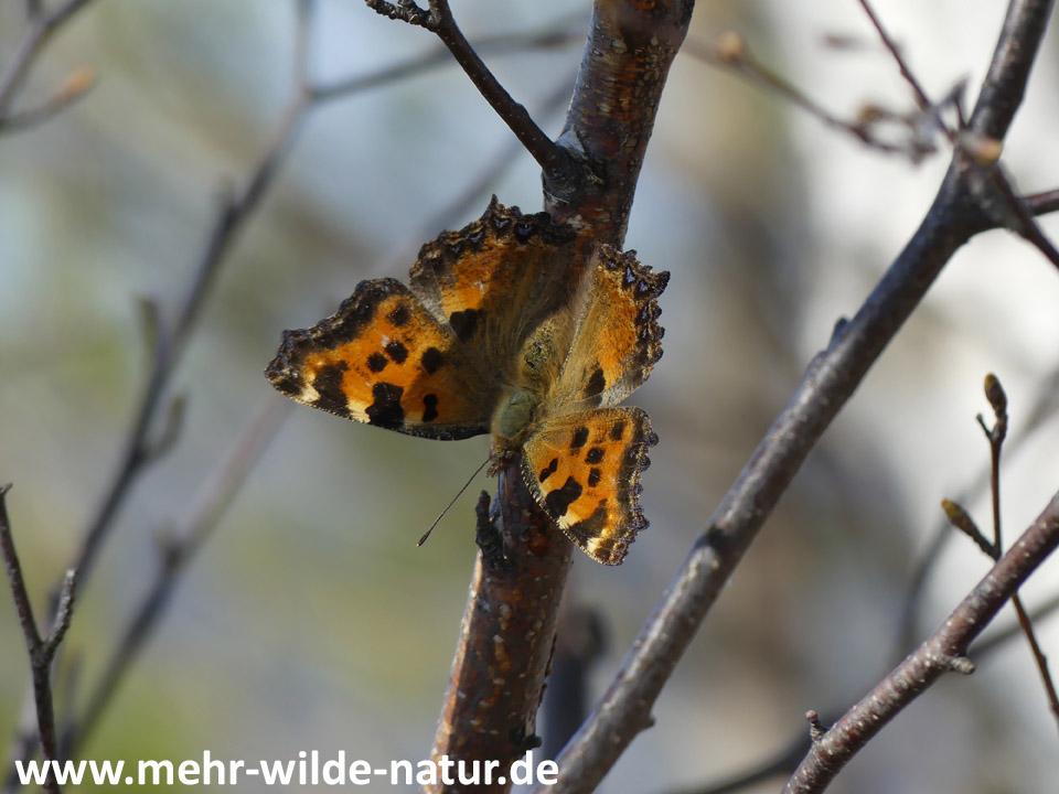 Großer Fuchs unterhalb der Kunitzburg bei Jena