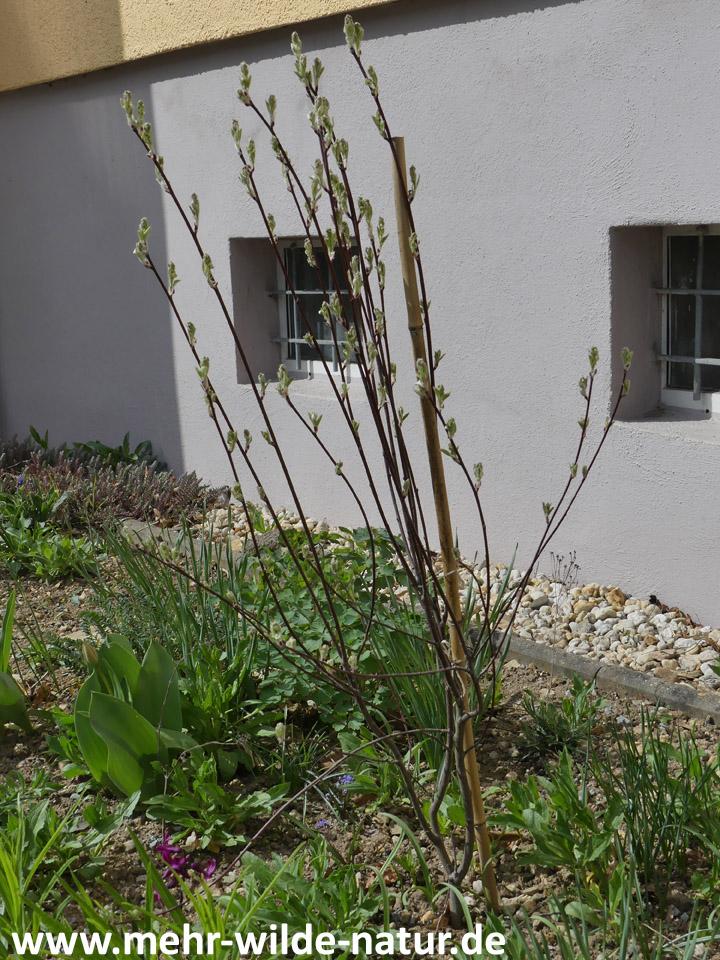 Zwerg-Felsenbirne im Hausbeet Nr. 1