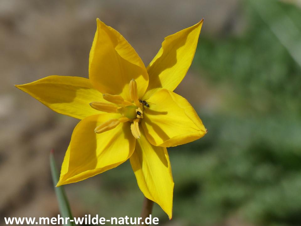 Ameise und Käfer in einer Blüte der Wilden Tulpe