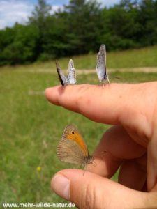 Großes Ochsenauge und drei Bläulinge auf meiner Hand Windknollen Jena